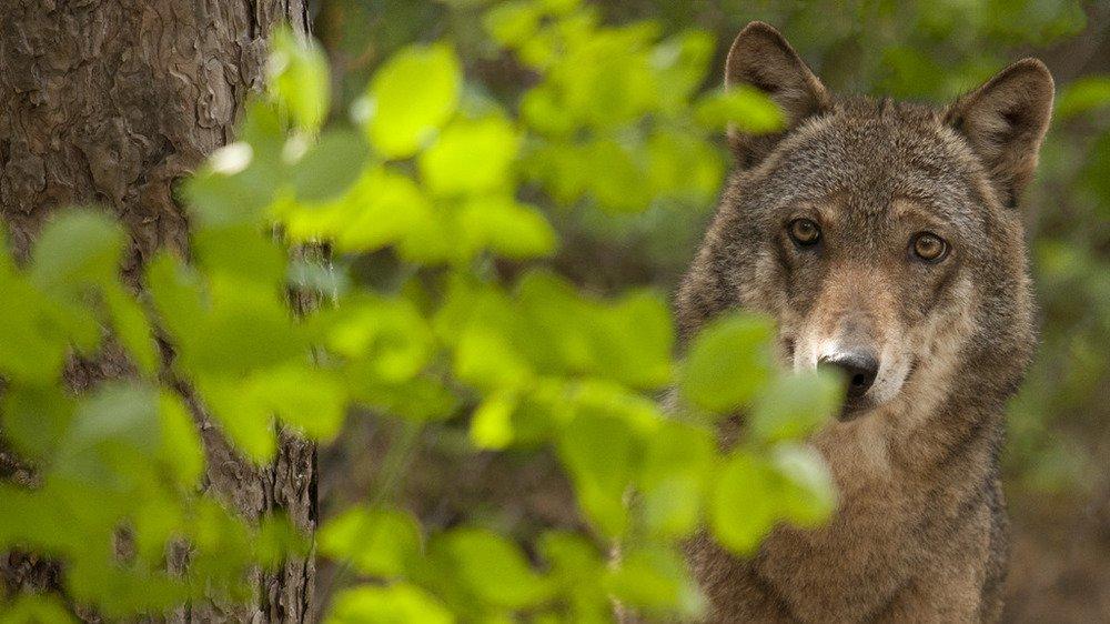 il-lupo-nel-salento