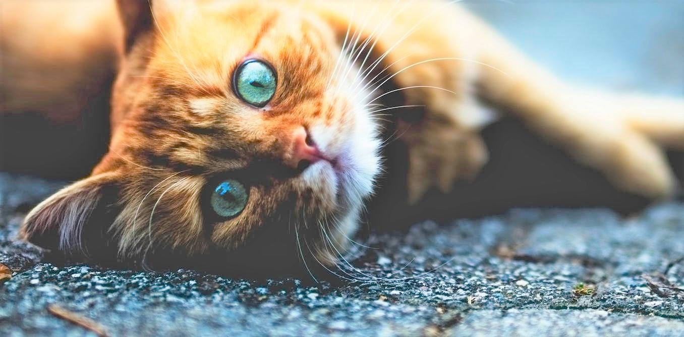 curiosita-sui-gatti