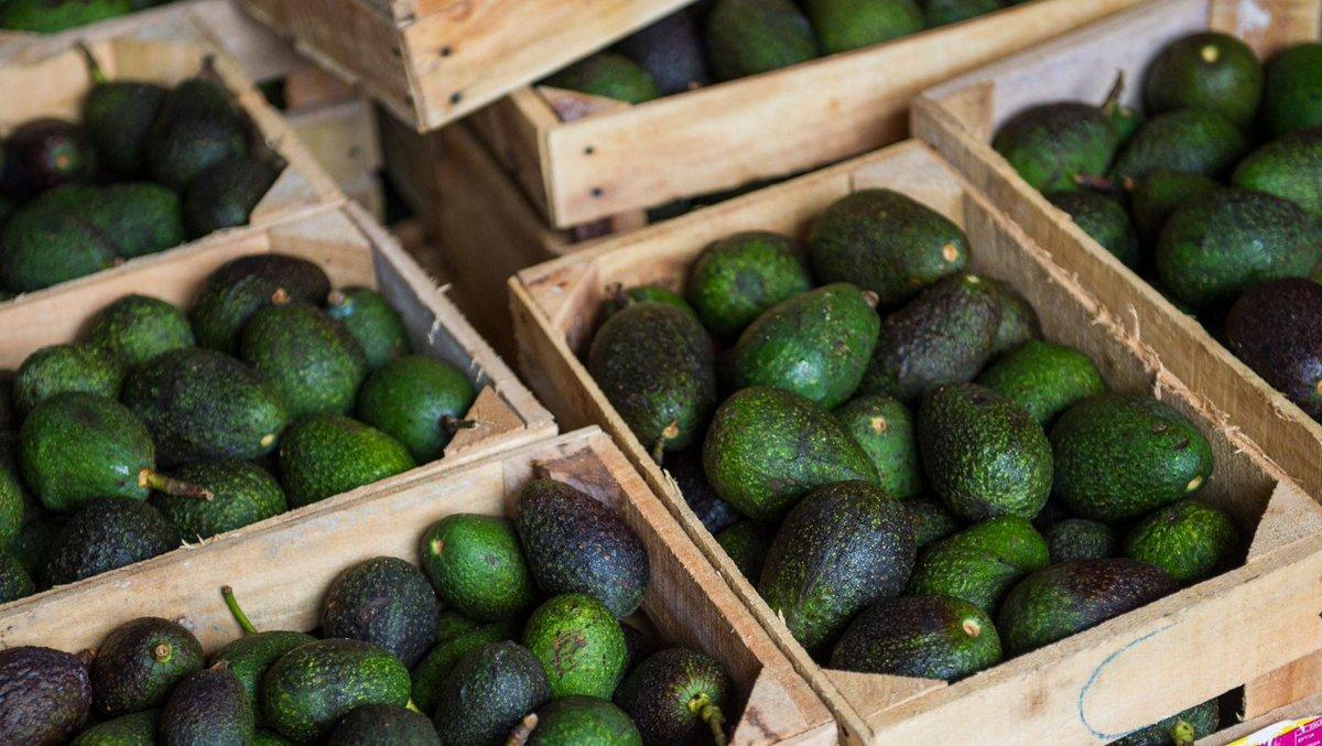 avocado-in-cile