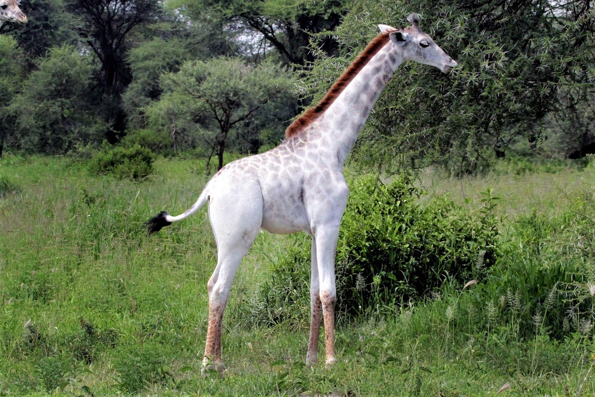 giraffa-bianca