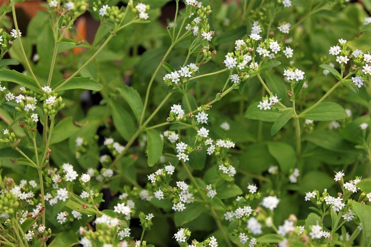 coltivare-la-stevia