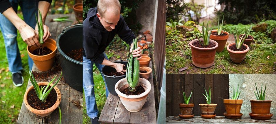coltivare-laloe-in-casa
