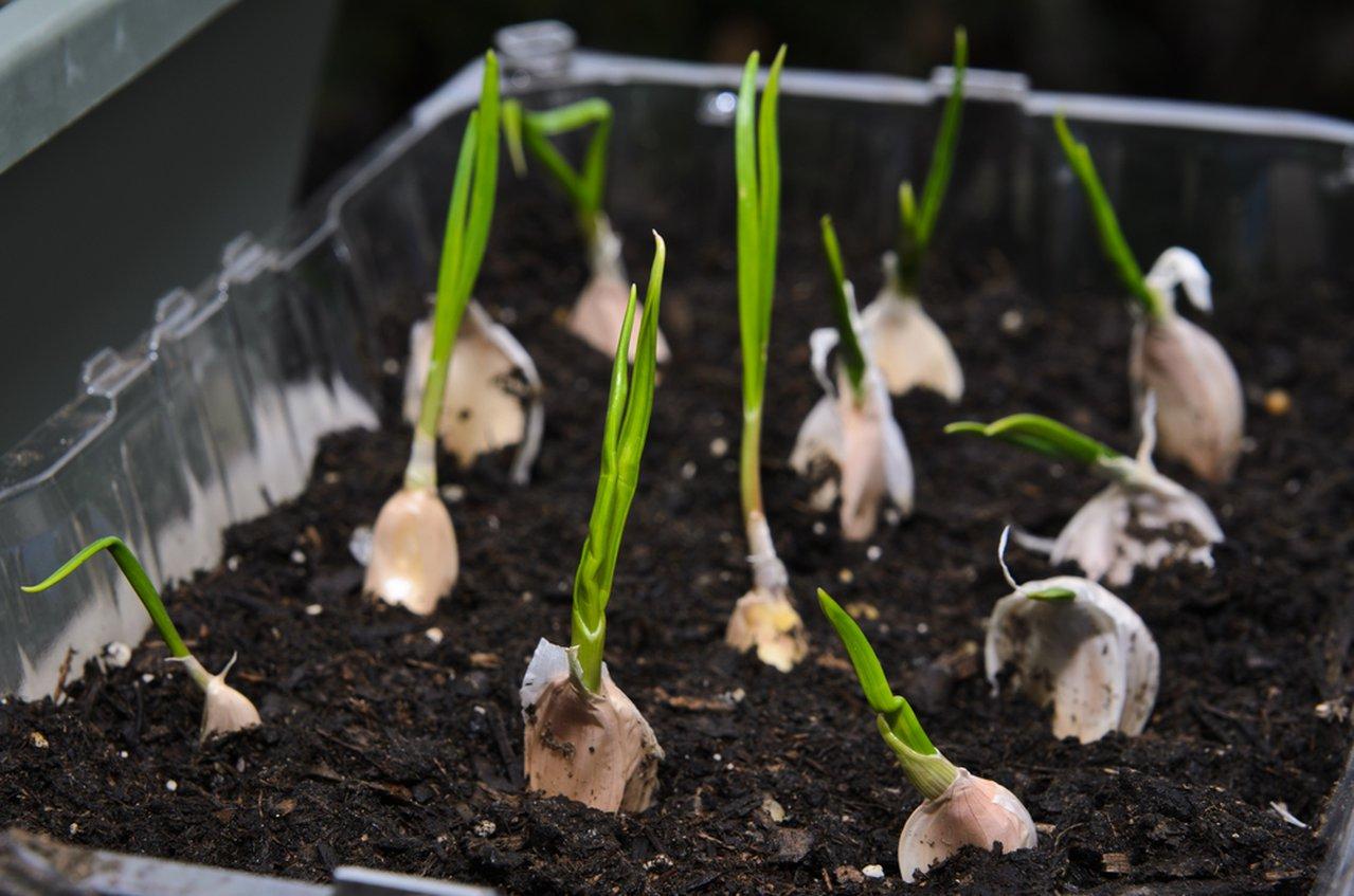 coltivare-laglio-in-vaso