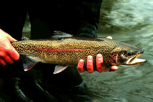 Rainbow_trout_fish_onchorhynchus_mykiss_detailed_photography