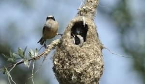 Pendolino - www.uccellidaproteggere.it
