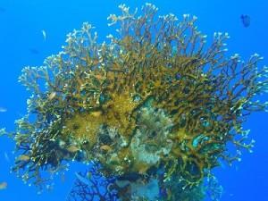 Corallodifuoco - www.fondali.it