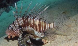 pesce scorpione - www.superscuba.it