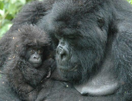 Gorilla adulto con gorilla cucciolo