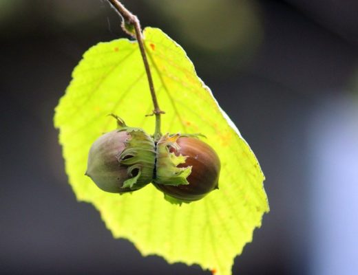 Coltivazioni di nocciole albero foglie