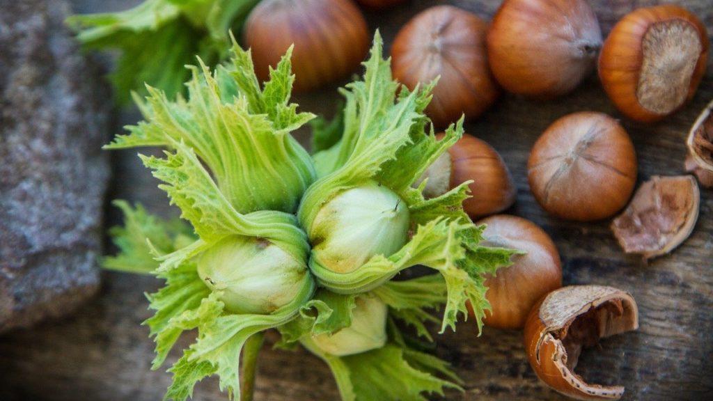 Coltivazioni di nocciole pianta e gusci.