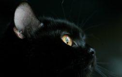 17 novembre: oggi si celebra la festa internazionale del gatto nero