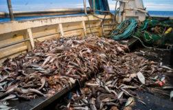 Animal Equality mostra la lenta agonia dei pesci nei mari italiani nel video-reportage Soffocare