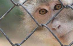 Esperimenti sui macachi: il Tar dice si, gli animalisti si oppongono