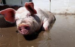 Stella Zero: in Italia il primo maiale uscito da un laboratorio di ricerca