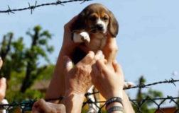 Green Hill, assolti i 12 attivisti che liberarono i beagle nel aprile 2012