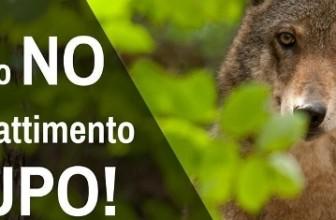 Giustizia per i tre lupi vittime di bracconaggio: LAV chiede intervento ministero ambiente.